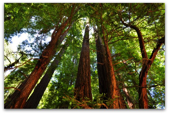 A group of tall Redwoods near the Bay Area