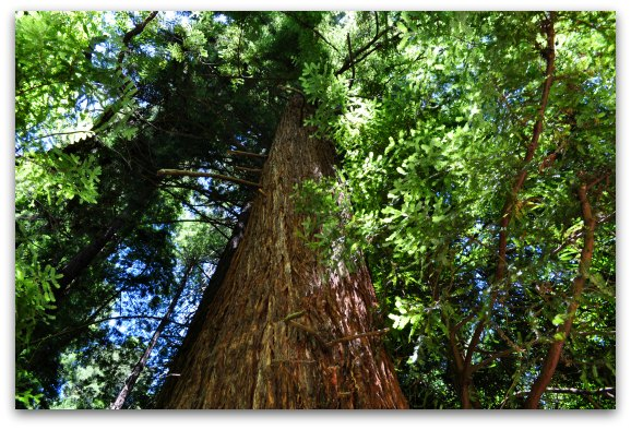 Looking up at a tall redwood in the forest near SF