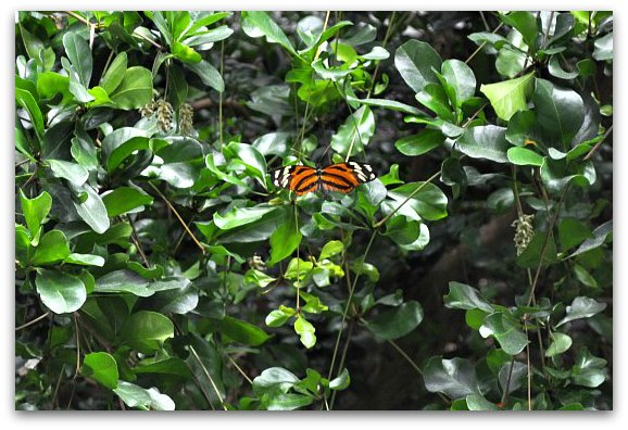 A butterfly in the Rainforest at the California Academy of Sciences in San Francisco