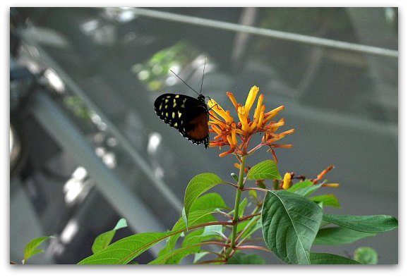 A butterfly in the rainforest at the California Academy of Sciences