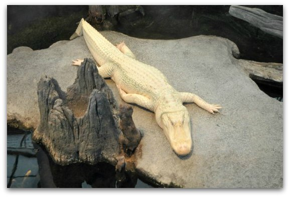 Claude, the albino alligator, at the California Academy of Sciences in San Francisco.
