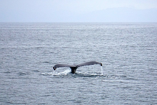 Whale Watching in the Pacific Near SF