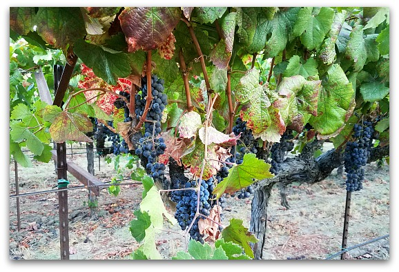 Napa Sonoma Wine Tour from SF