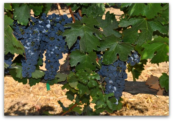 Red wine grapes ripening on the vine in Napa Valley