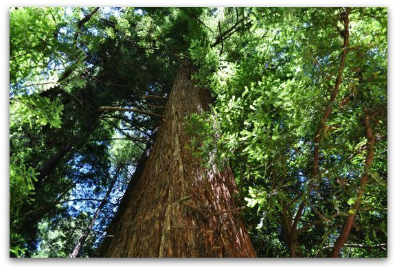 Looking up at a tall redwood tree in Muir Woods
