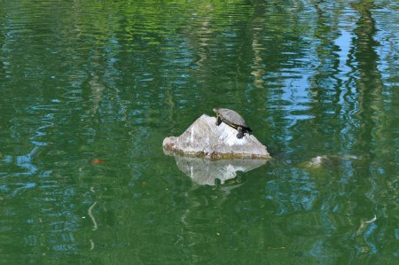 A turtle sitting on a rock on a sunny day at Stow Lake in Golden Gate Park SF