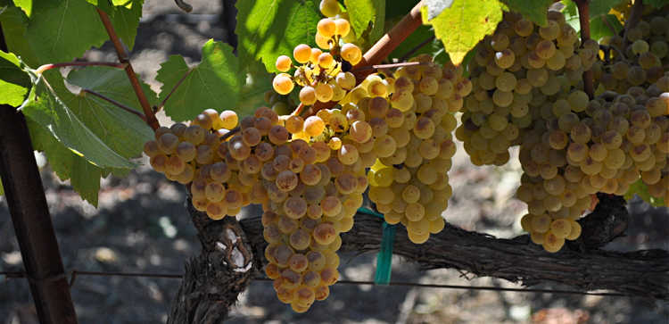 White grapes on the vine in the fall in Napa Valley